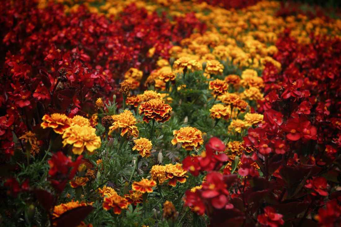 bed of red and yellow petaled flowers